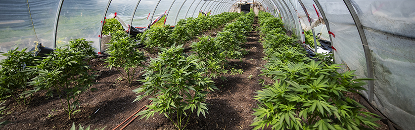 Rows of cannabis plants in an outdoor greenhouse